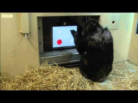 Érintőképernyős Teszt - csimpánz