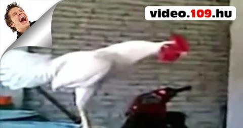 Vicces videó Nevető kakas