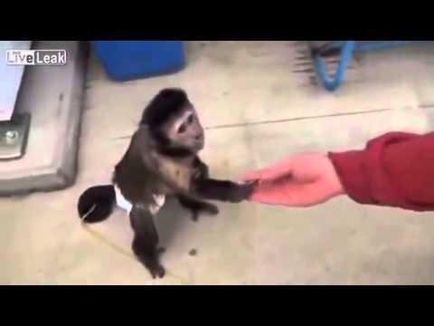 Nagyon intelligens majom vásárol italt !!!