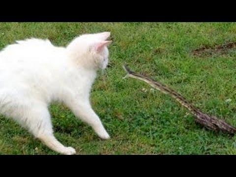 A macska hergeli a kígyót