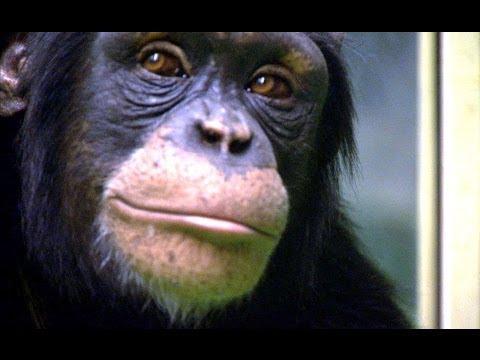 Csimpánz Vs Human! - Munka memória teszt - Rendkívüli Állatok - Föld